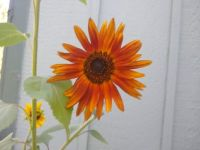 Sunflower on my patio