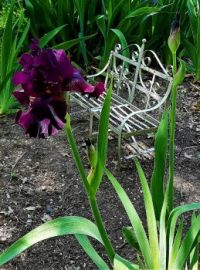 First Burgundy Iris Springtime 2021 20210421_143142