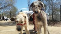 Friendly Wolfhounds!