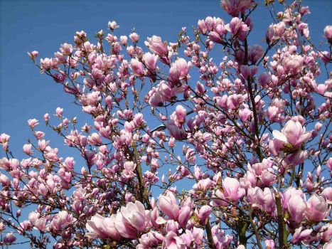 wonderful magnolia tree