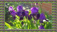 Kosatce - Tři mušketýři / Irises - The Three Musketeers