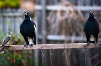Warbling Magpies with a Noisy Mynah audience of One