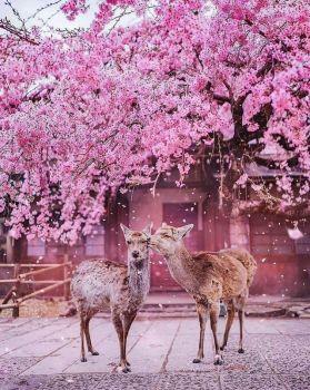 Two deer in Nara Park, City of Nara, Japan