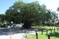Moreton Bay Fig Tree in Port Douglas.