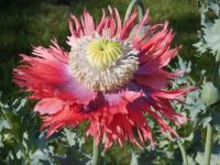 Papaver in volle ornaat