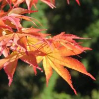 Japanese Maple wearing it's fall colours
