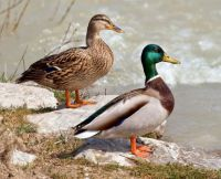 Mallard, female & male-weekly theme