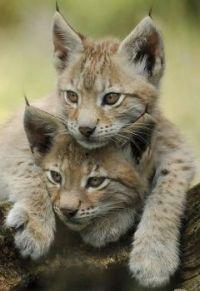 bob cat cubs...
