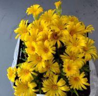 Delosperma-květina