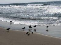 Oct CA Trip_Oxnard beach Sandpipers 2