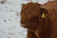 Highland Calf Scotland