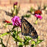late season butterfly