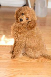 Nahla the miniature poodle puppy