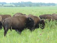 Where The Buffalo Roam!