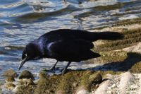 Grackle, Lake Hodges, San Diego, California