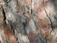 Scotch Pine Bark Challenge