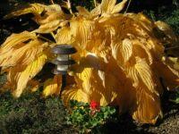 Fall hosta