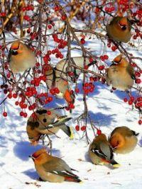 Birds enjoying the berries