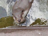 otter in Aqua te Silkeborg (DK)