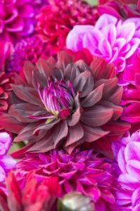 vivid-red-pink-dahlia-varieties