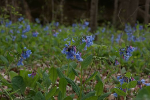 Virginia Bluebells and Bumble Bee