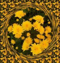 Žluté chryzantémy ...  Yellow chrysanthemums ...