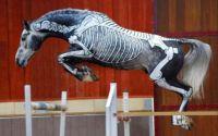 Horses Inside Out, #1 Skeleton Horses