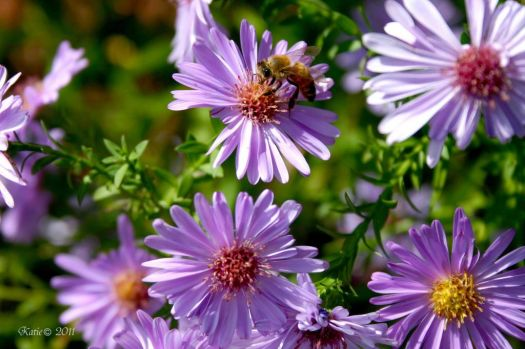 Asters and the Bee
