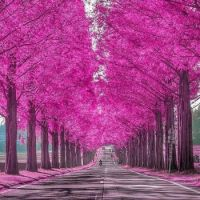 Pink Trees of Japan
