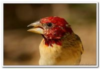 Red-headed quelea_Nahoon Nature Reserve_Stewart MacLachlan