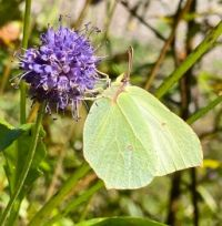 Another common brimstone butterfly