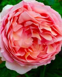 """Abraham Darby"" rose"