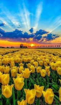 Sunset and Tulips