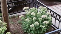 This plant looks a bit like cauliflower to me...