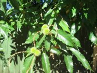 A Chinese Chestnut