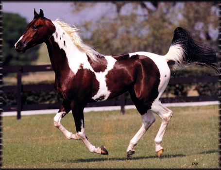 national-show-horse