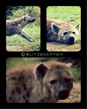 Hyena Collage