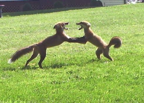 "Wolfgang & Ludwig Doing the ""Fox Trot""..."