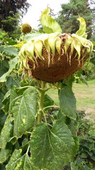 plant sunflower