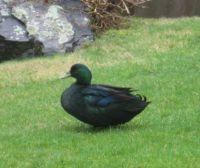 Black Mallard Duck