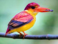 1  ~  Rufous Backed Dwarf Kingfisher.