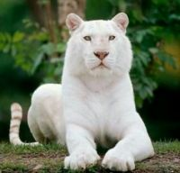 Beautiful white tiger!