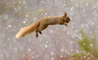 Repülő mókus