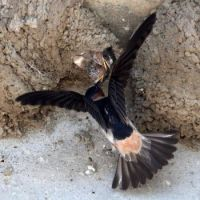 Cliff Swallow Chicks, Lagoon Trail, Del Mar, California