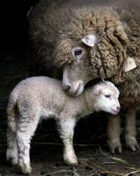 Lamby Love