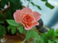 An August Rose