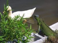 Quackers, alway curious, interrupts Slasher's zen moment