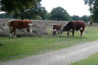 Part of the heath is grazed by a small herd of cows (+ calves + bull). People can walk here and pass, but have to keep distance. Problem is: the cows don't keep distance!!!!