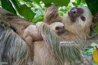 Mommy and Baby Sloth