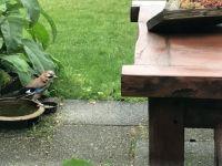 Vlaamse gaai in mijn tuin..... Garrulus glandarius... schreeuwekster,